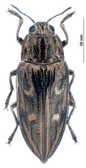 Chalcophora mariana(Linnaeus, 1758)