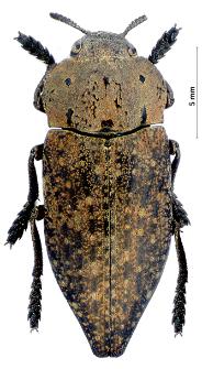 Capnodis tenebricosa (G.-A. Olivier, 1790)