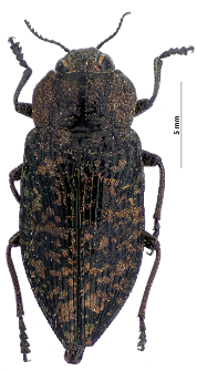 Poecilonota variolosa (G. Paykull, 1799)