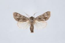 Acronicta euphorbiae