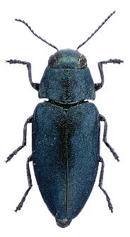 Phaenops cyanea (Fabricius, 1775)