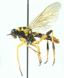 Xylomya maculata (Meigen, 1804