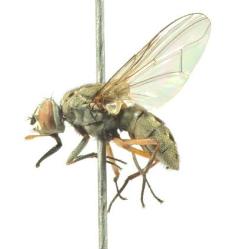 Haematobosca stimulans (Meigen, 1824)