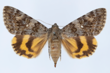 Catocala nymphaea