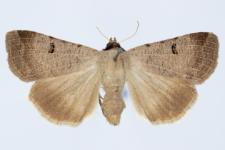 Lygephila craccae