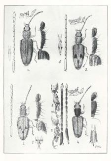 Beitrag zur Kenntnis der Telephanus (Col. Cucujidae)
