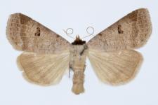 Lygephila viciae