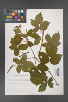 Rubus acanthodes [KOR 32135]