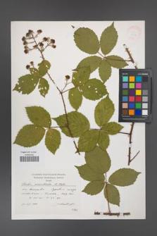 Rubus acanthodes [KOR 38272]