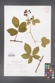 Rubus acanthodes [KOR 42587a]