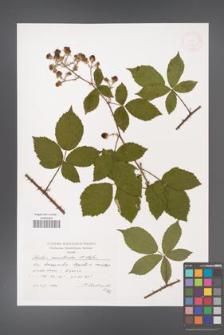 Rubus acanthodes [KOR 38271]