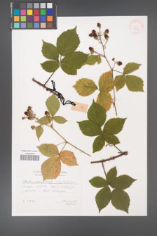 Rubus acanthodes [KOR 29573]