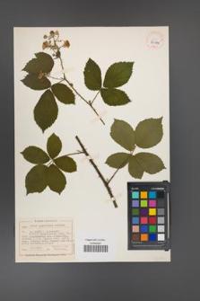 Rubus acanthodes [KOR 40480]