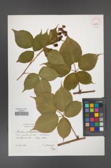 Rubus allegheniensis [KOR 41314]