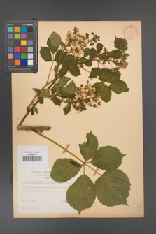 Rubus allegheniensis [KOR 10557]