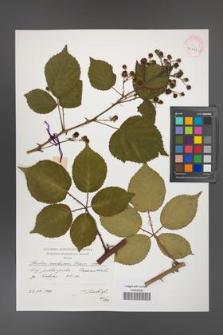 Rubus ambrosius [KOR 41311]