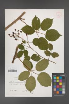 Rubus ambrosius [KOR 39915]