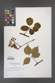 Rubus ambrosius [KOR 52661]