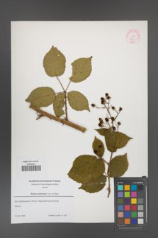 Rubus ambrosius [KOR 52663]