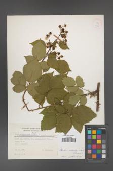 Rubus ambrosius [KOR 24948]