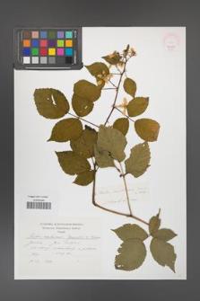 Rubus ambrosius [KOR 46402]