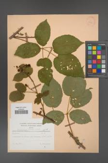 Rubus ambrosius [KOR 25606]