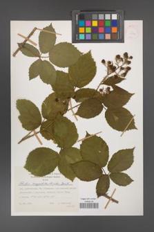 Rubus amygdalanthoides [KOR 31502]