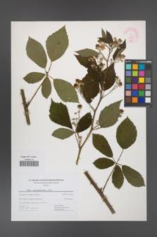 Rubus angustipaniculatus [KOR 44438]