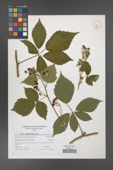 Rubus angustipaniculatus [KOR 40730]