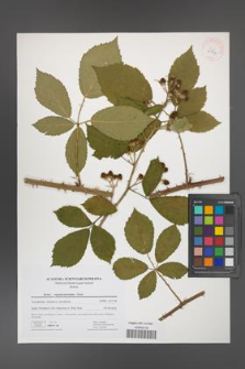 Rubus angustipaniculatus [KOR 41734]