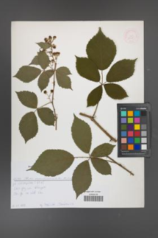 Rubus angustipaniculatus [KOR 52625]