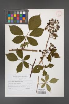 Rubus angustipaniculatus [KOR 41056]