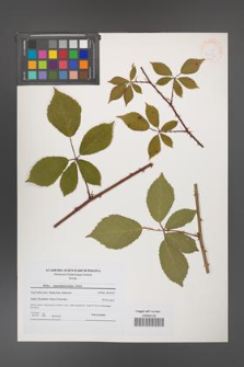 Rubus angustipaniculatus [KOR 41253]