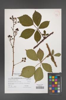 Rubus angustipaniculatus [KOR 40743]