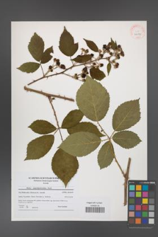 Rubus angustipaniculatus [KOR 41017]