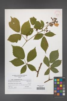 Rubus angustipaniculatus [KOR 41089]