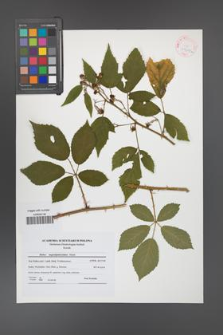 Rubus angustipaniculatus [KOR 41609a]