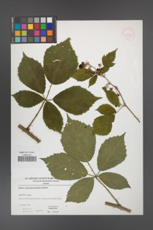 Rubus angustipaniculatus [KOR 52899]
