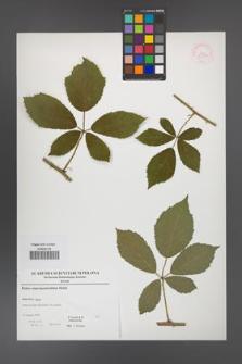 Rubus angustipaniculatus [KOR 52900]
