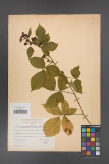 Rubus angustipaniculatus [KOR 23767]