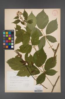 Rubus angustipaniculatus [KOR 31189]
