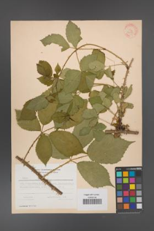 Rubus angustipaniculatus [KOR 31190]