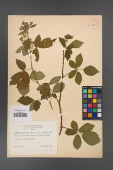 Rubus angustipaniculatus [KOR 8747]