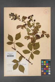 Rubus angustipaniculatus [KOR 8768]