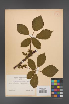 Rubus angustipaniculatus [KOR 8769]