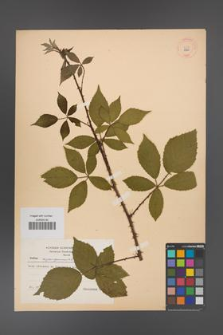 Rubus angustipaniculatus [KOR 8700]