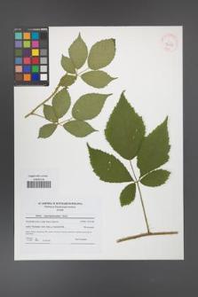 Rubus angustipaniculatus [KOR 42155]