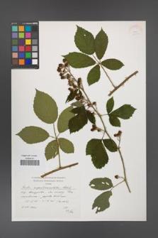 Rubus angustipaniculatus [KOR 38284]
