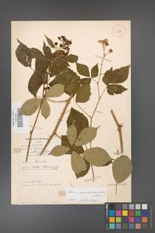 Rubus angustipaniculatus [KOR 10965]