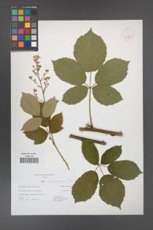 Rubus austroslovacus [KOR 52968]